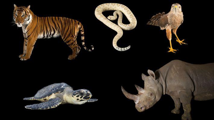 Estos son algunos de los animales con mayor riesgo de extinguirse