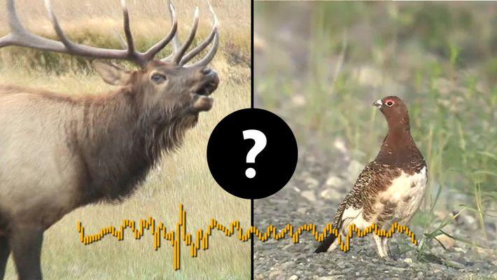 Adivina qué animales emiten estos extraños sonidos.