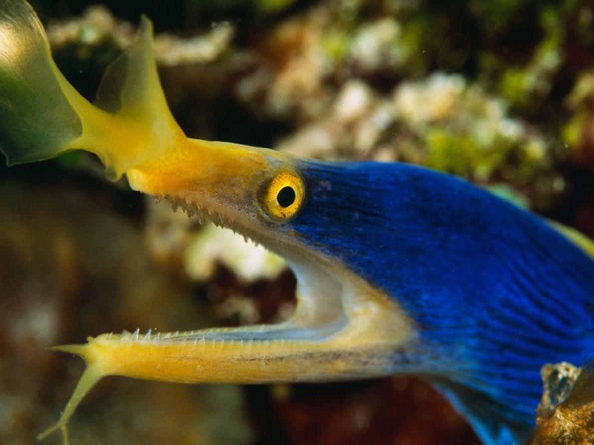 anguila cinta