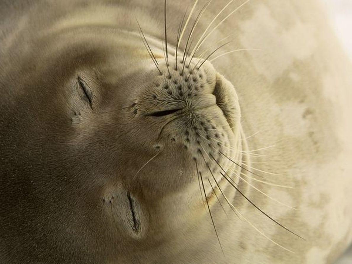 Foca Weddell dormitando