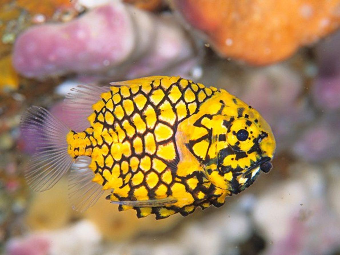 Monocentridae
