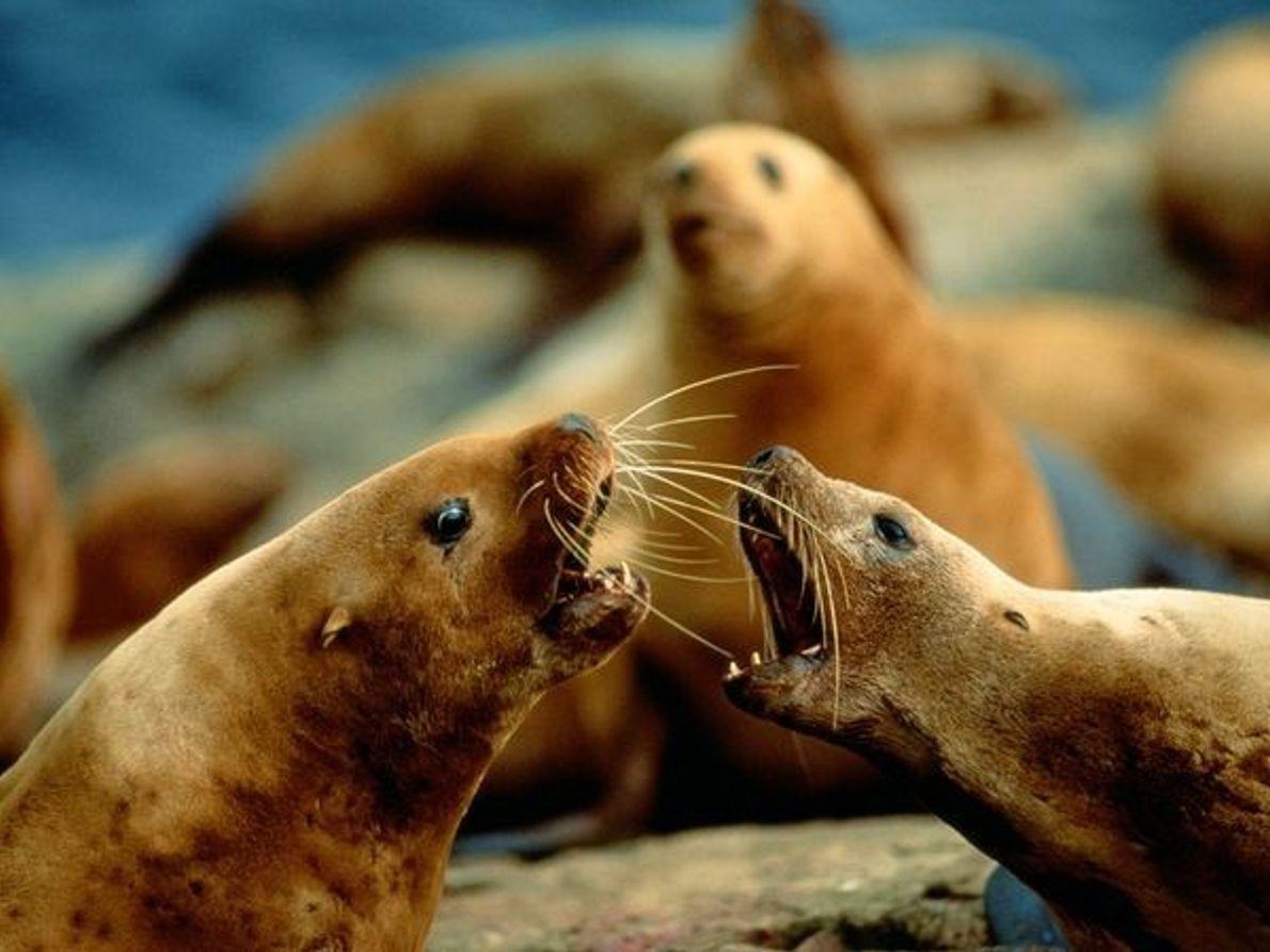 Dos focas conversando