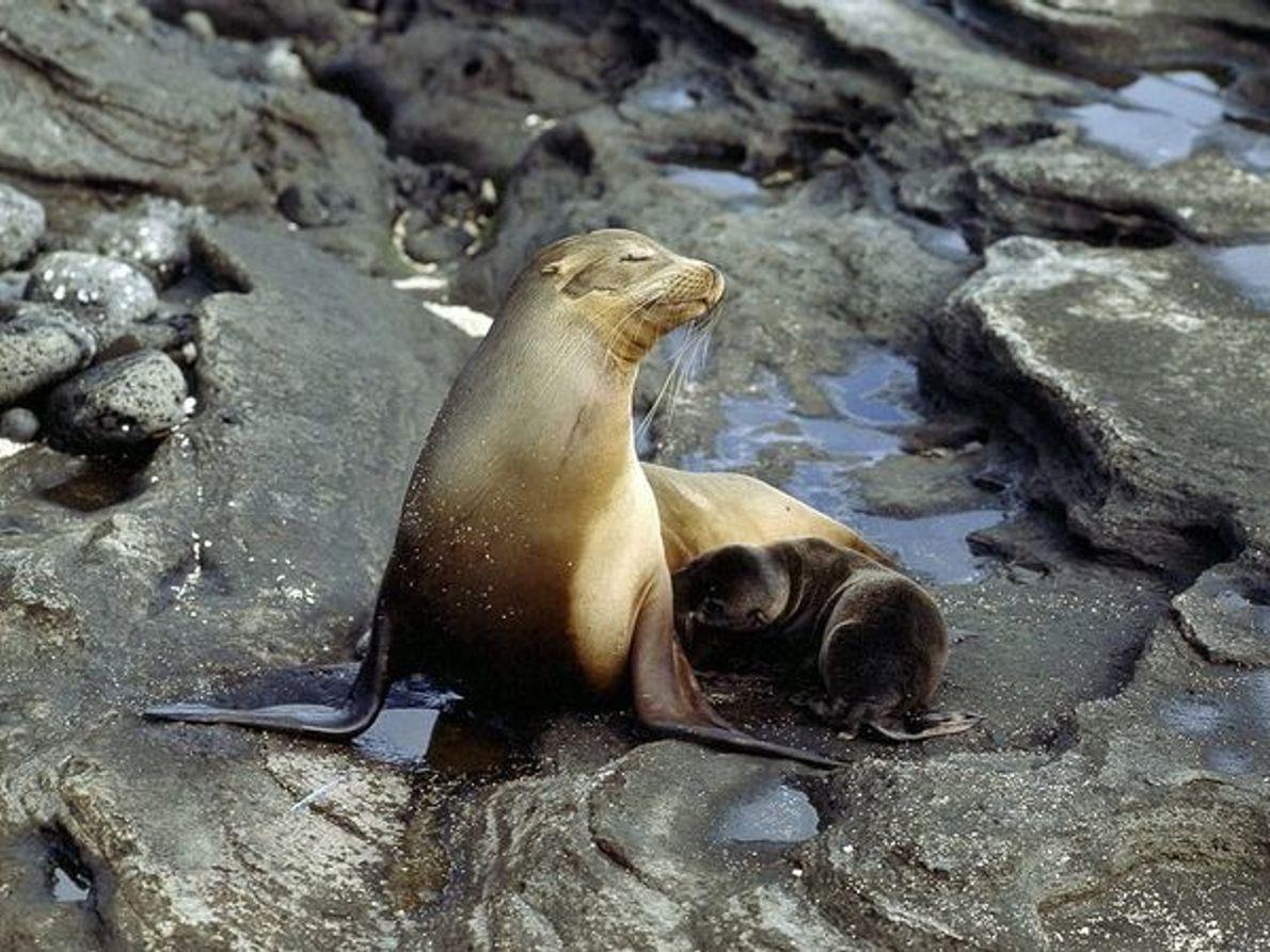 Leon marino californiano con su cría
