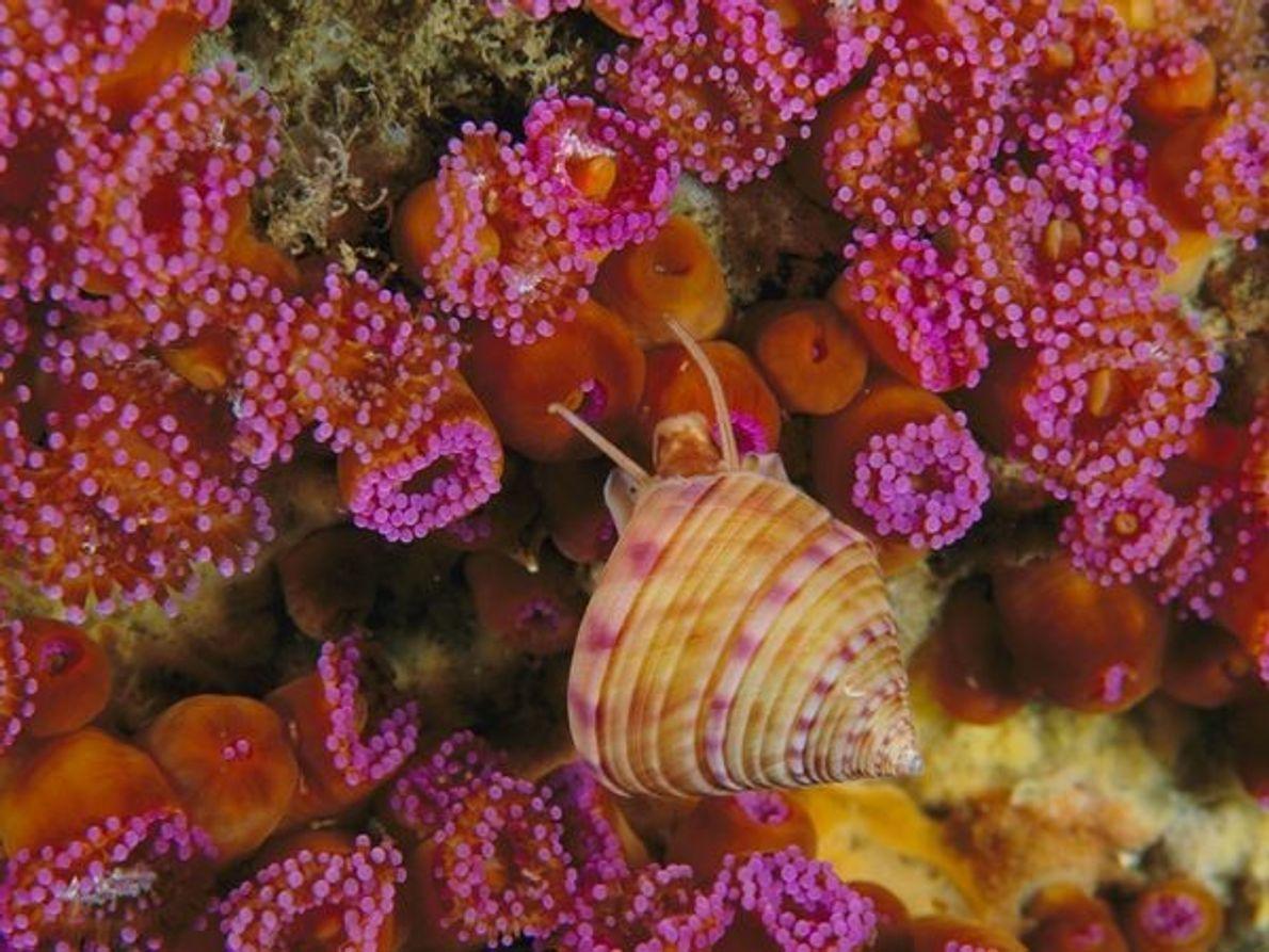"""Un caracol recorre un grupo de anémonas de tipo """"joya"""" en la costa Irlandesa."""