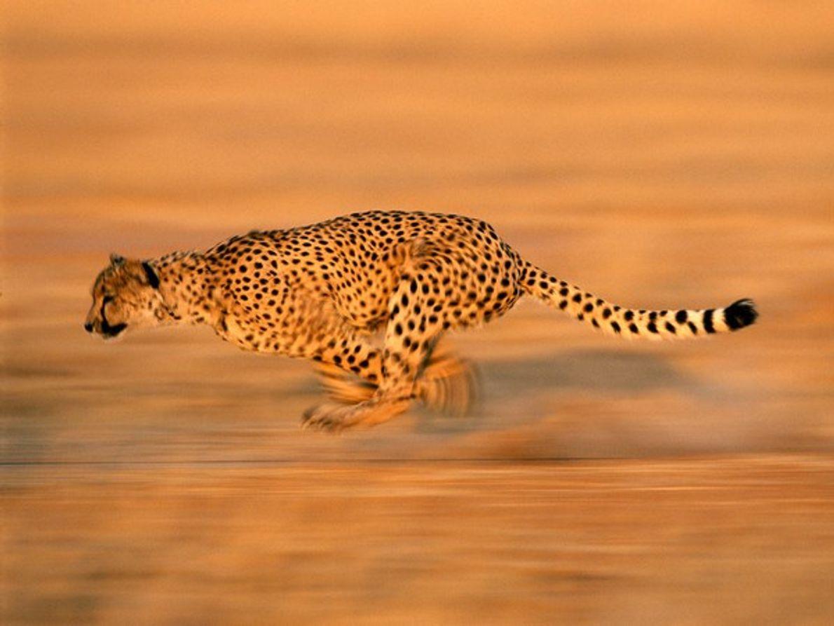 Guepardo corriendo tras una presa