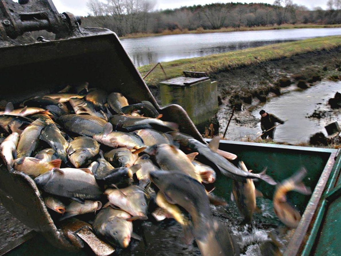 Acuicultura de carpas, Polonia