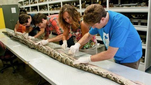 Encontrada una serpiente gigante en Florida