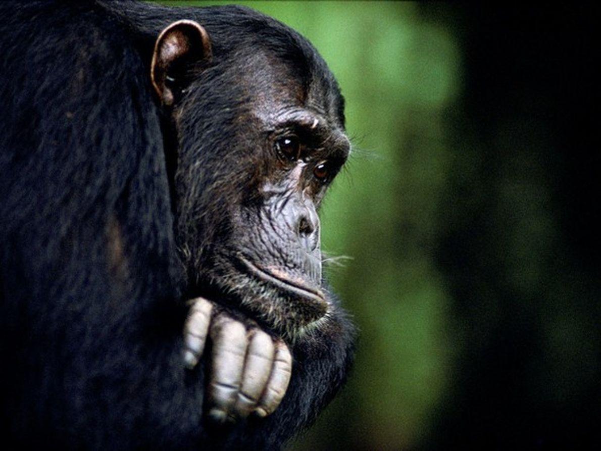 Frodo, un chimpancé macho