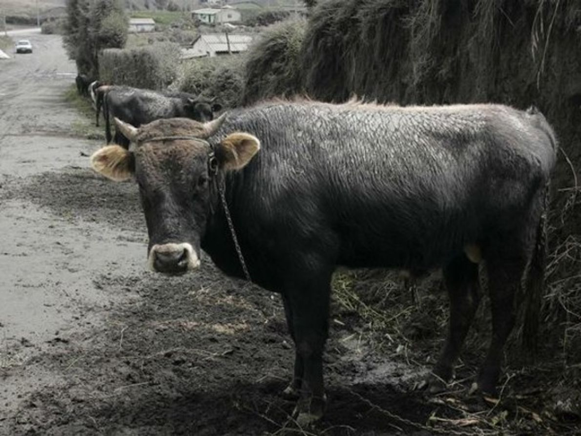 Vaca entre cenizas