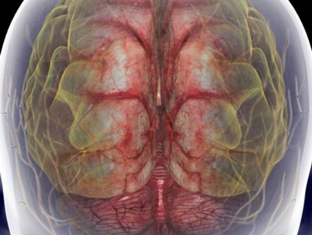 Una visión trasera del cráneo muestra el cerebro y la médula espinal cervical. Juntas conforman el …