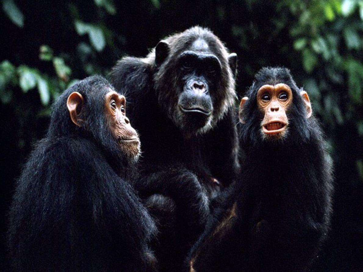 La chimpancé Fifi con sus hijos