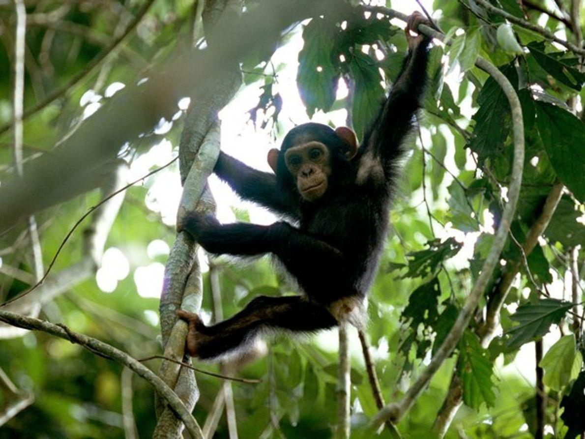 Joven chimpancé de paseo por la jungla