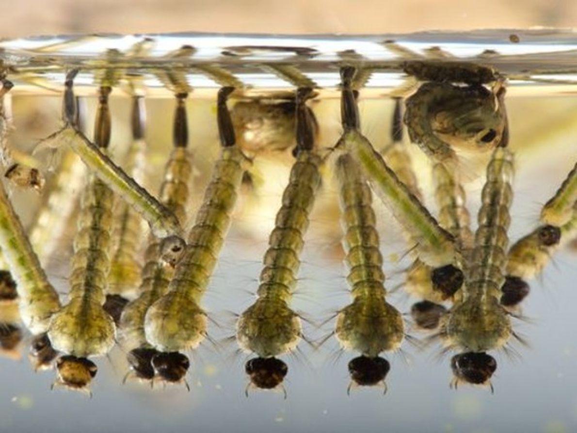 Mosquitos Culex