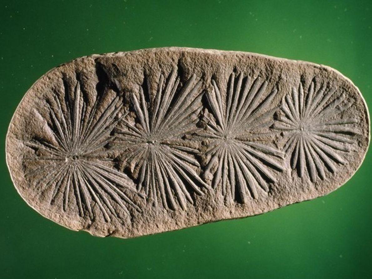Fósil de Calamites