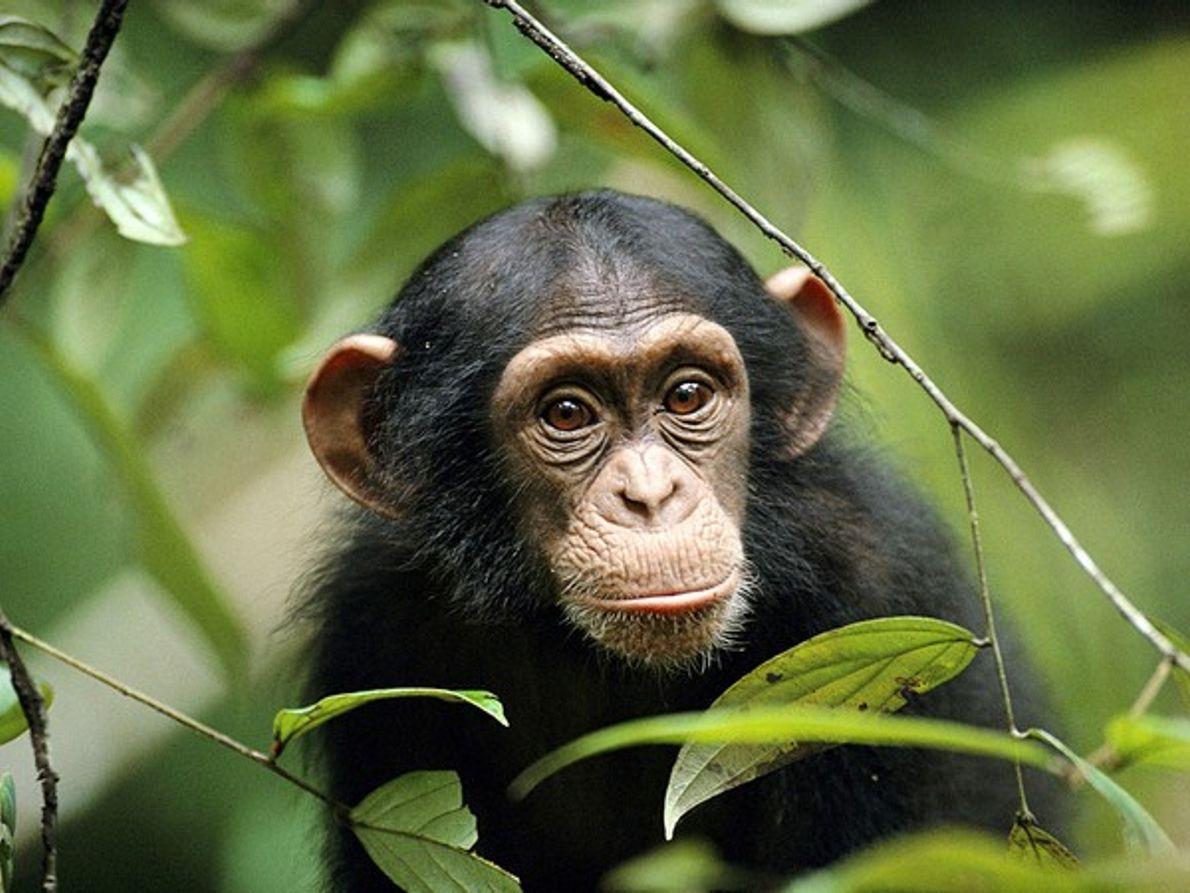 Un joven chimpancé se asoma entre la vegetación