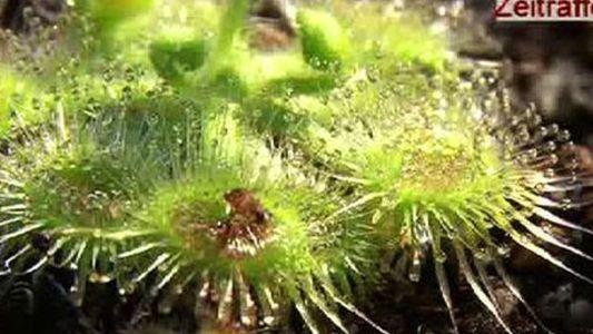 Descubierta una planta carnívora con tentaculos