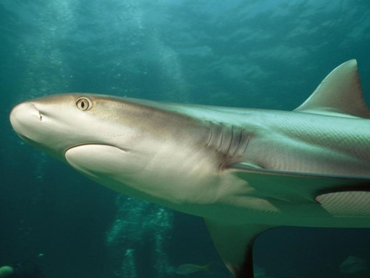 Tiburón coralino de puntas blancas