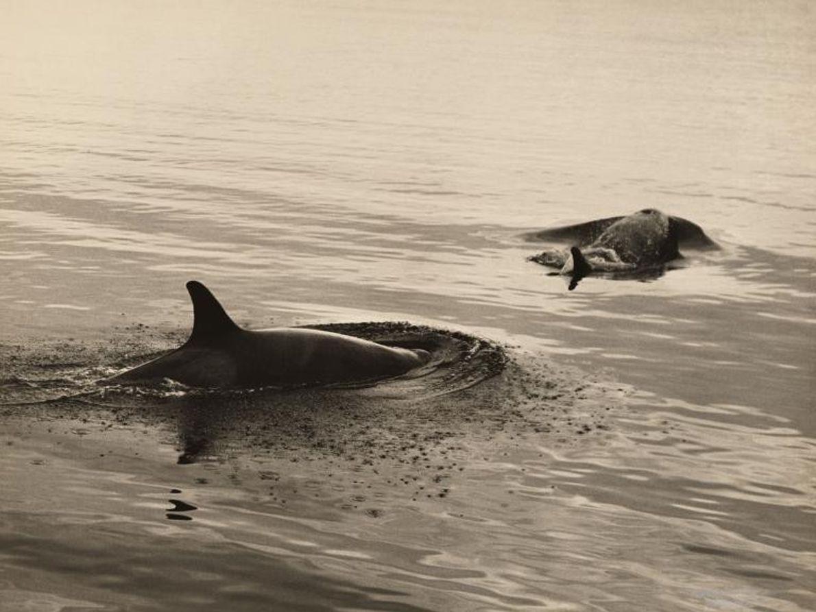 Dos orcas