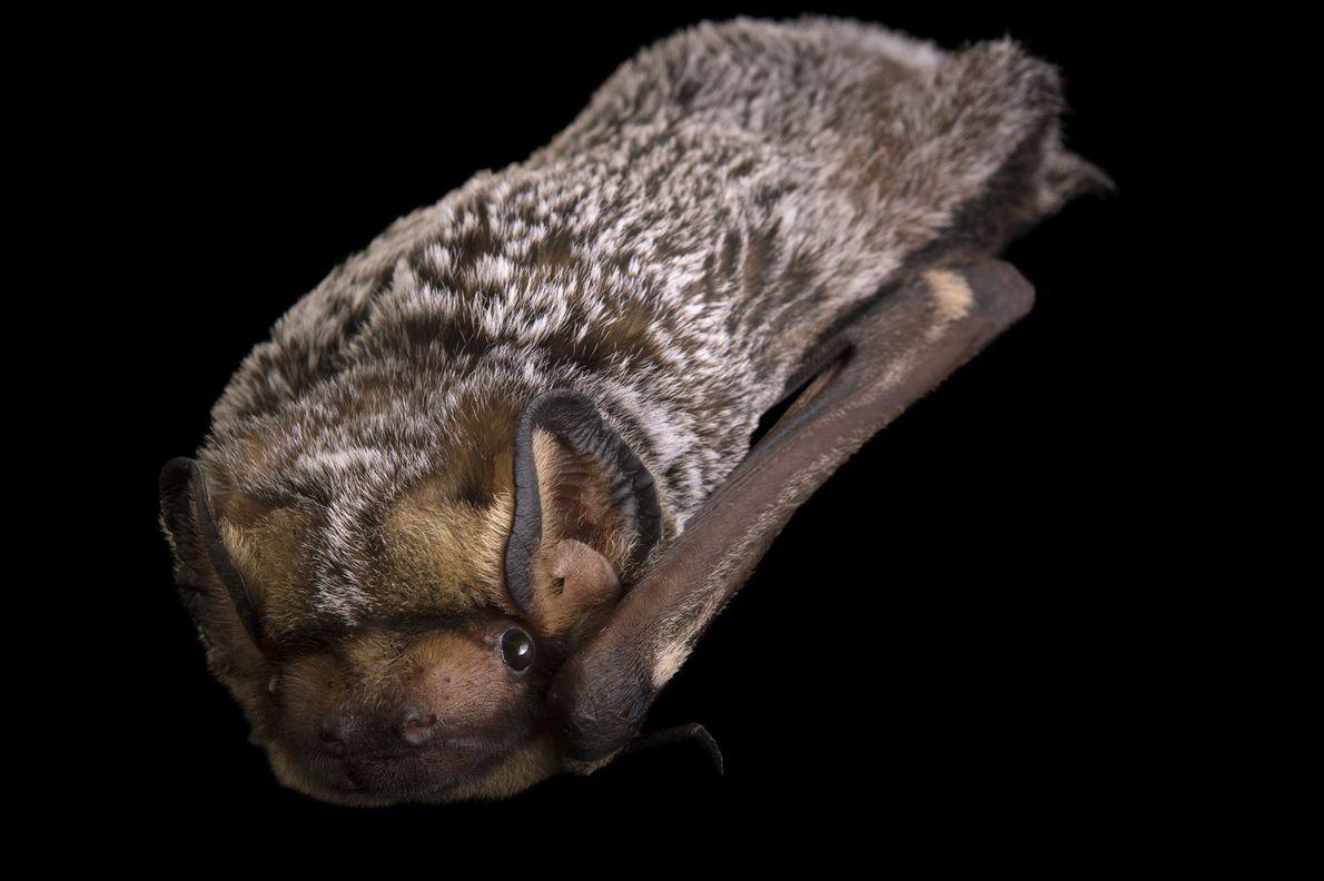 Murciélago ceniciento