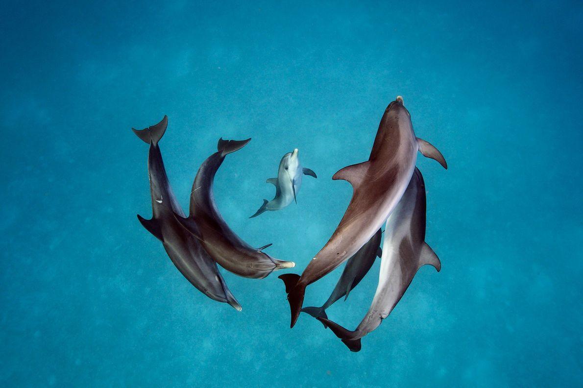Delfines manchados