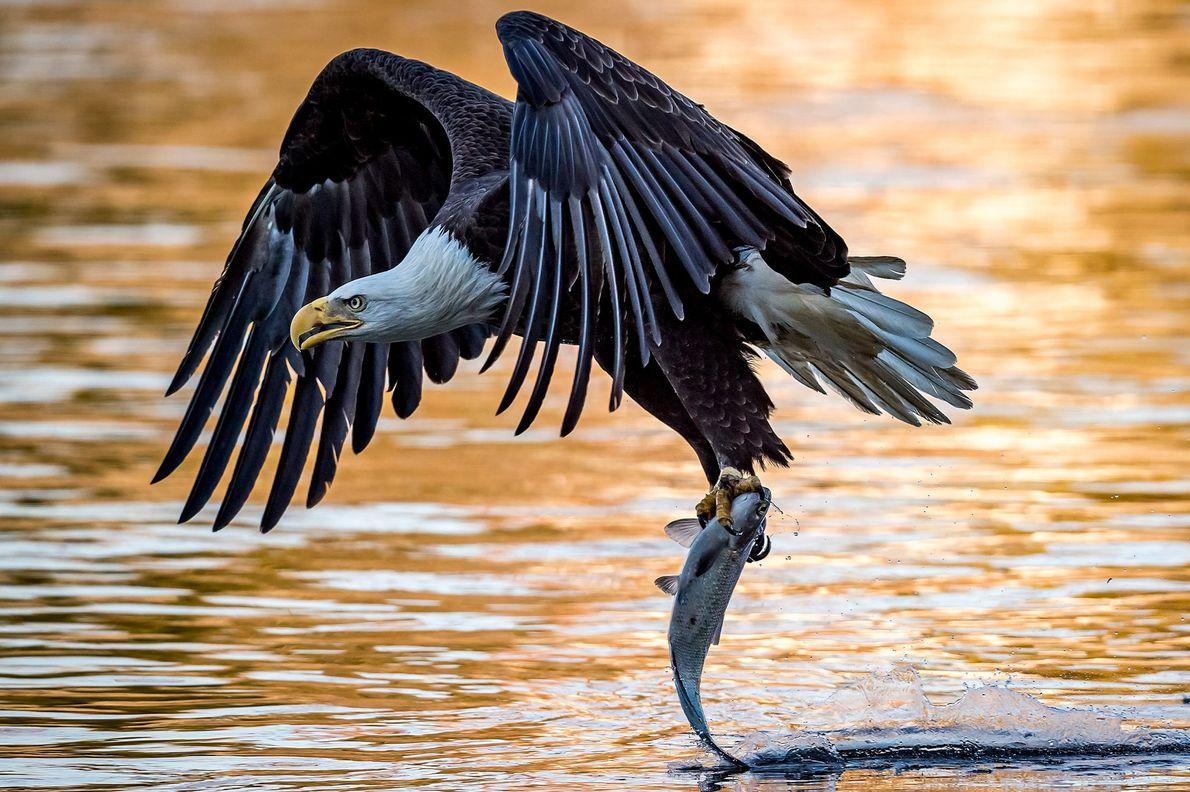 Un águila calva adulta