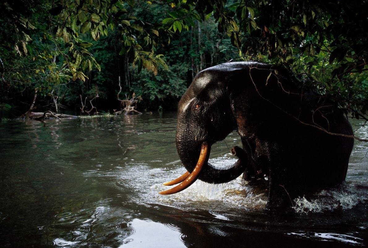 Elefanfe africano