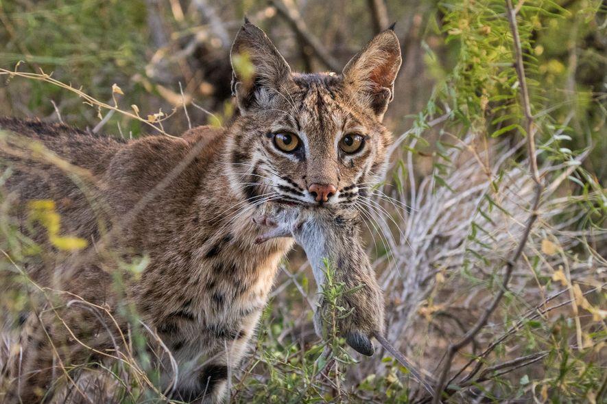 Los linces rojos enseñan a sus crías a cazar. Al principio, la madre llevaba la presa muerta entera bajo el porche, donde las crías la devoraban.