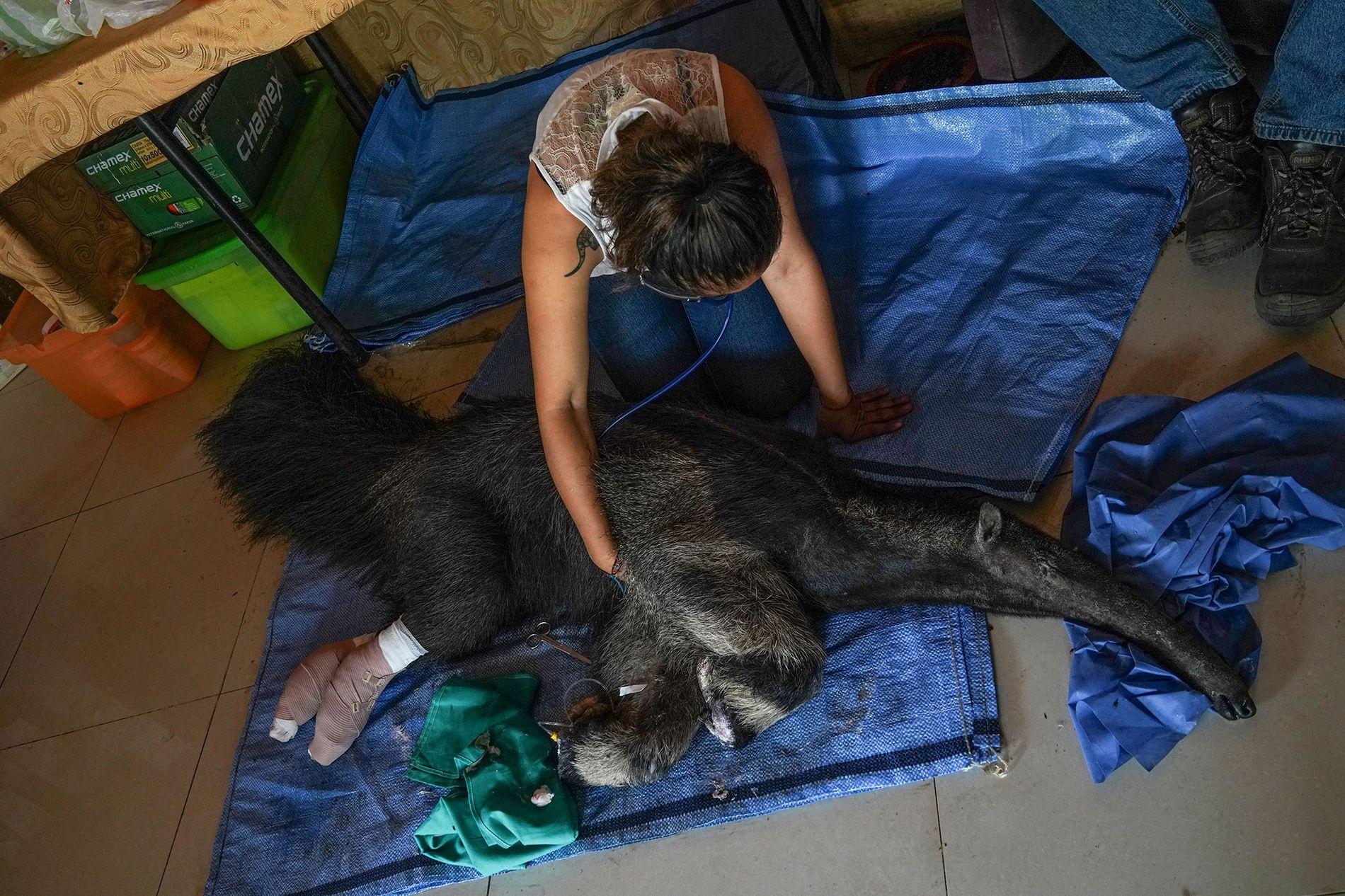 La bióloga Daniela Vidal supervisa las constantes vitales del oso hormiguero Valentina. Poco después de que ...