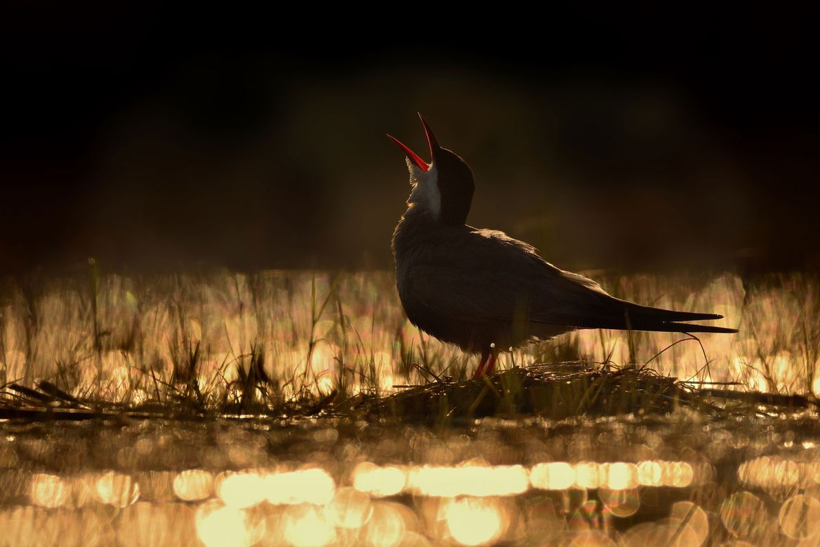 This shot of a whiskered tern (Chlidonias hybrida) in wetlands in Hungary won gold in the ...