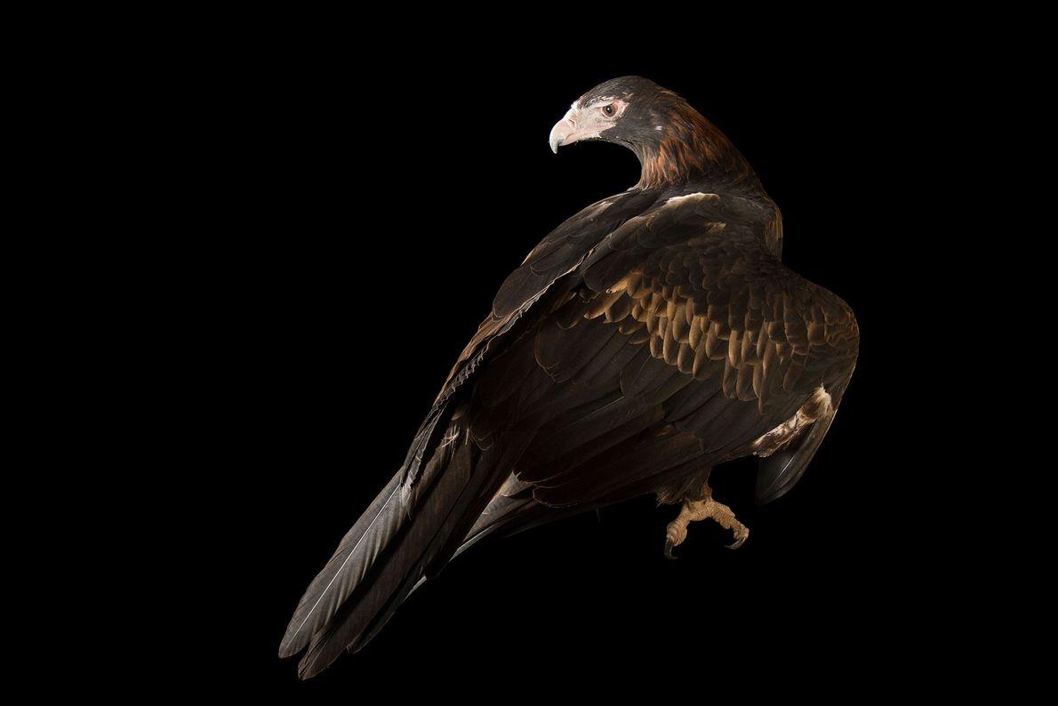 Un águila audaz