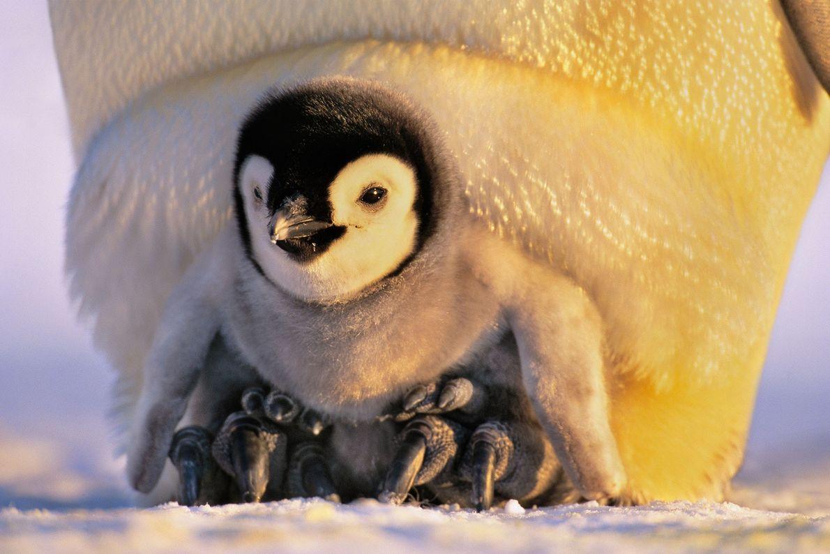 Un polluelo de pingüino
