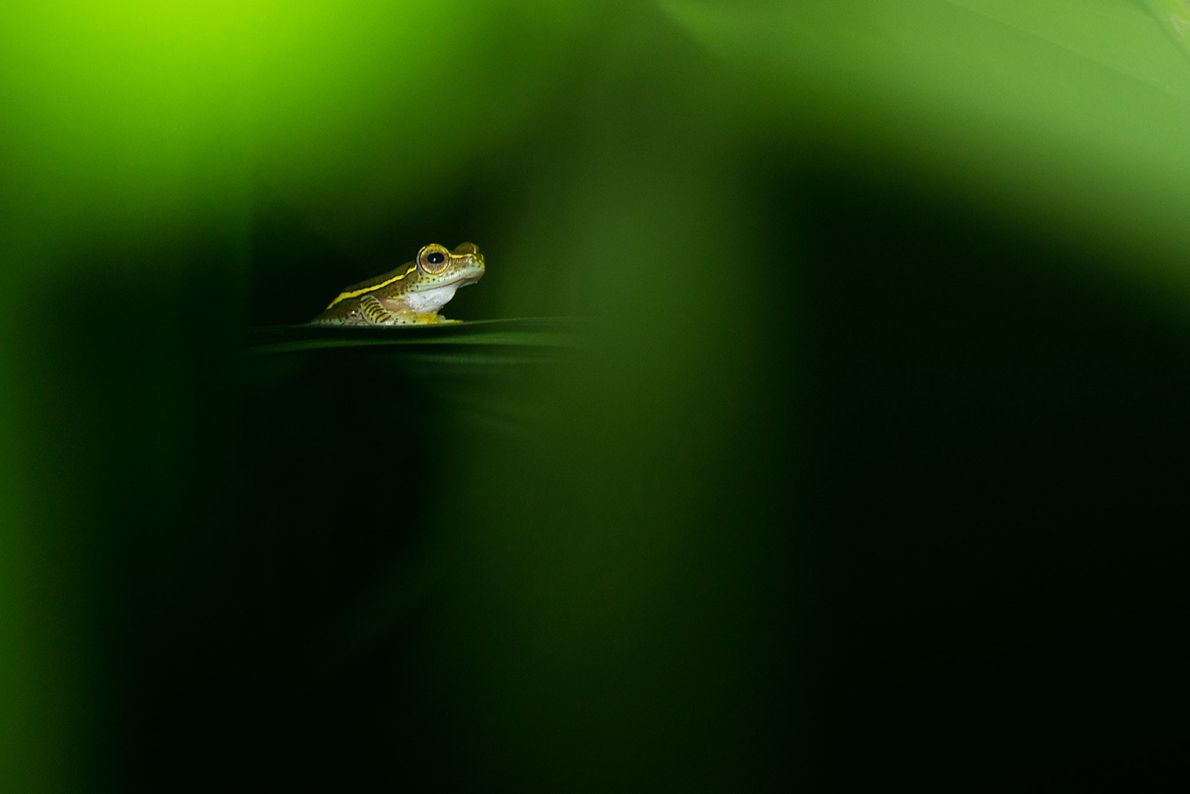 Rhacophorus lateralis is a tree frog restricted to two small areas of the southern Western Ghats. ...