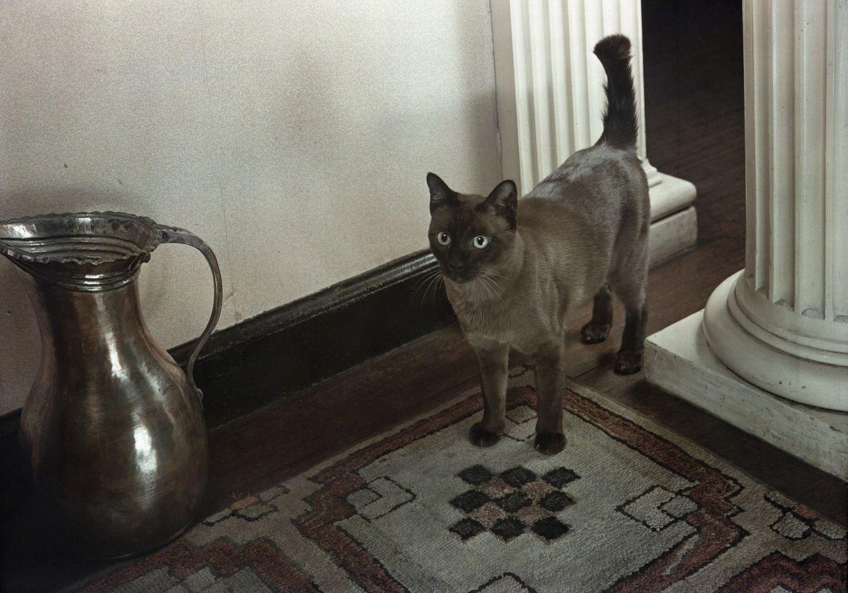 Un gato birmano