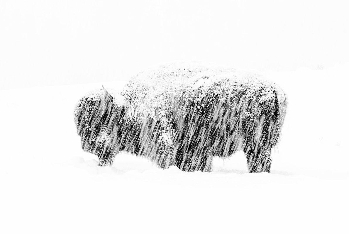 Bisonte solitario, Max Waugh