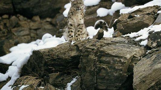 ¿Nos quedaremos sin leopardos de las nieves salvajes?