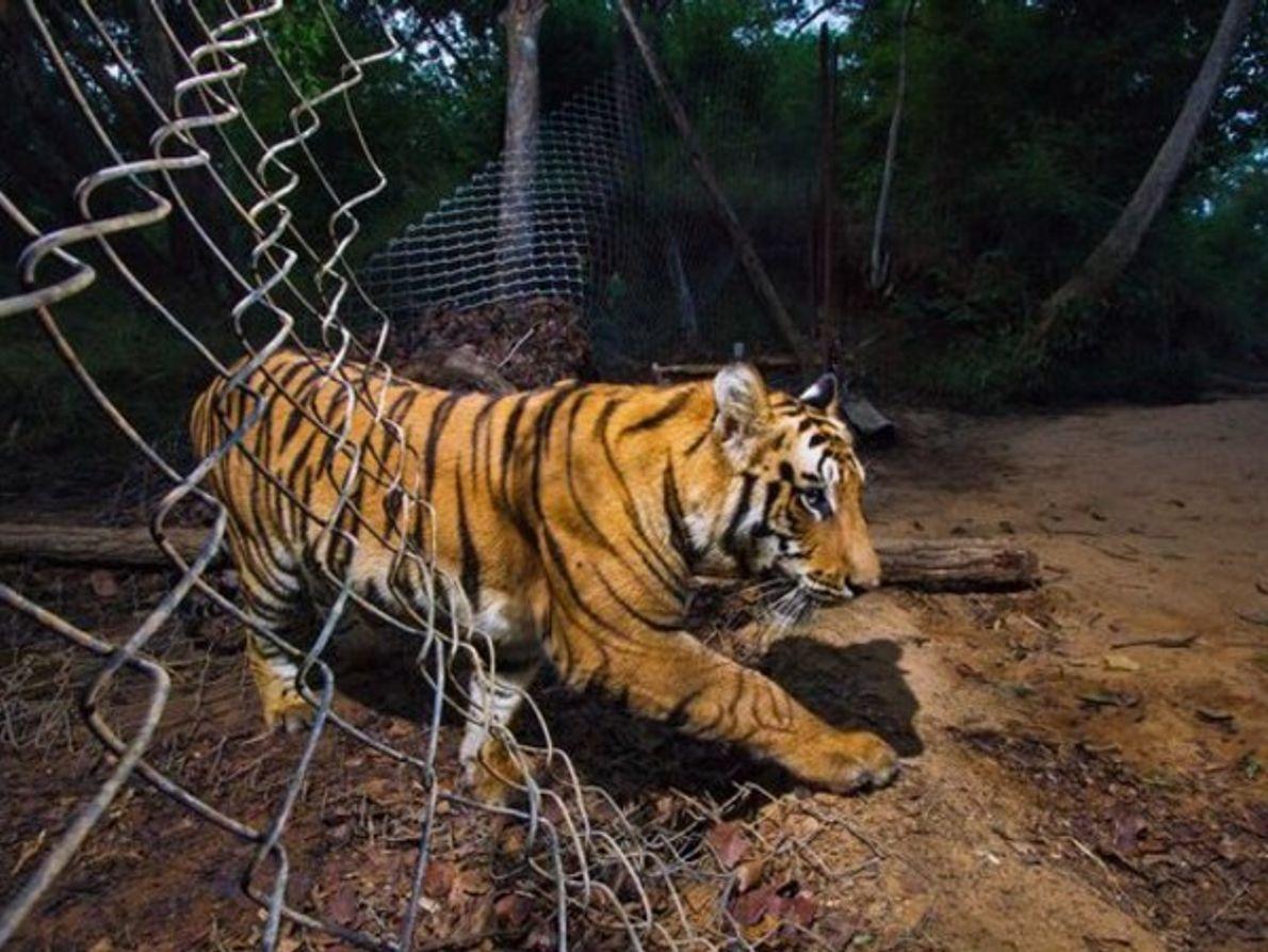 El lamento del tigre