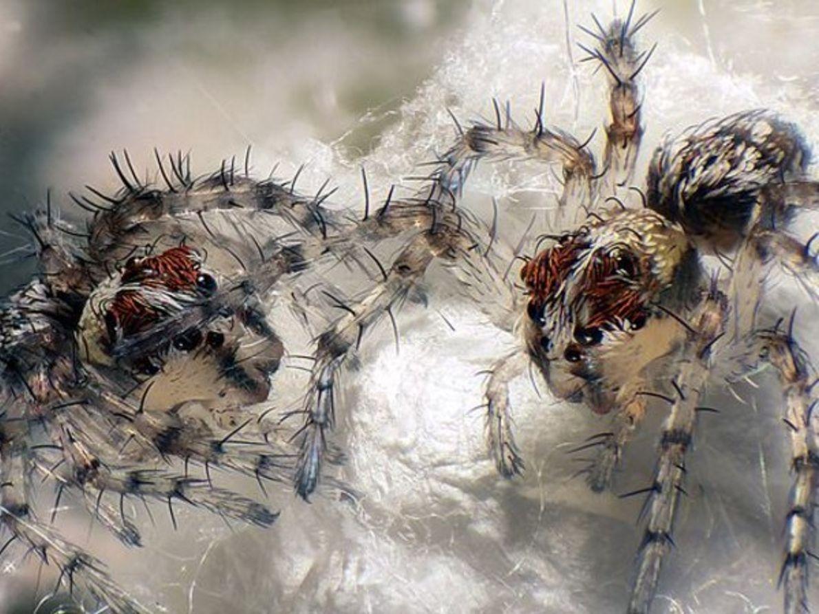 Segundo lugar, bebés de araña