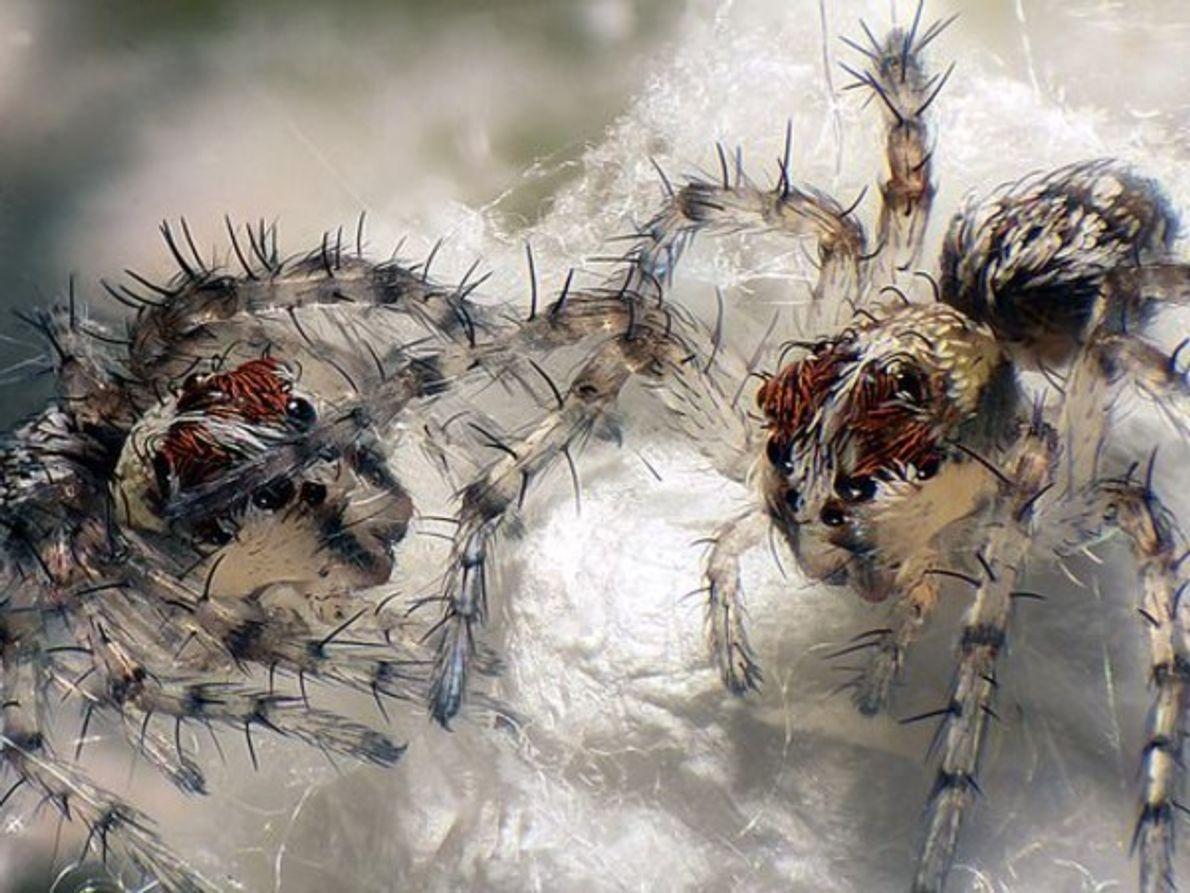 Esta imagen de crías de recién nacidas de araña lince ampliada en seis ocasiones por Walter …