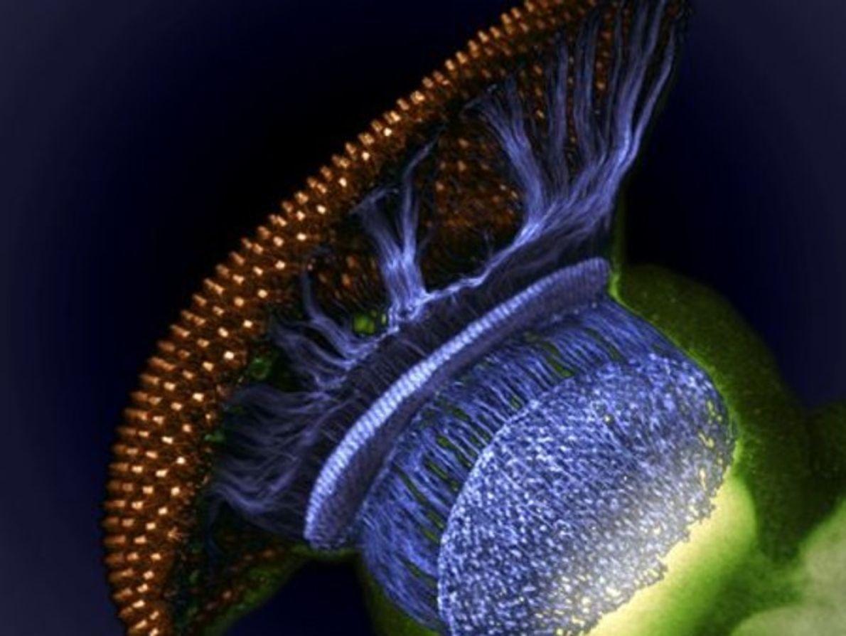 No es una nave espacial. Es el sistema visual de una mosca de la fruta pupal …