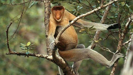 El mono narigudo, una especie en peligro