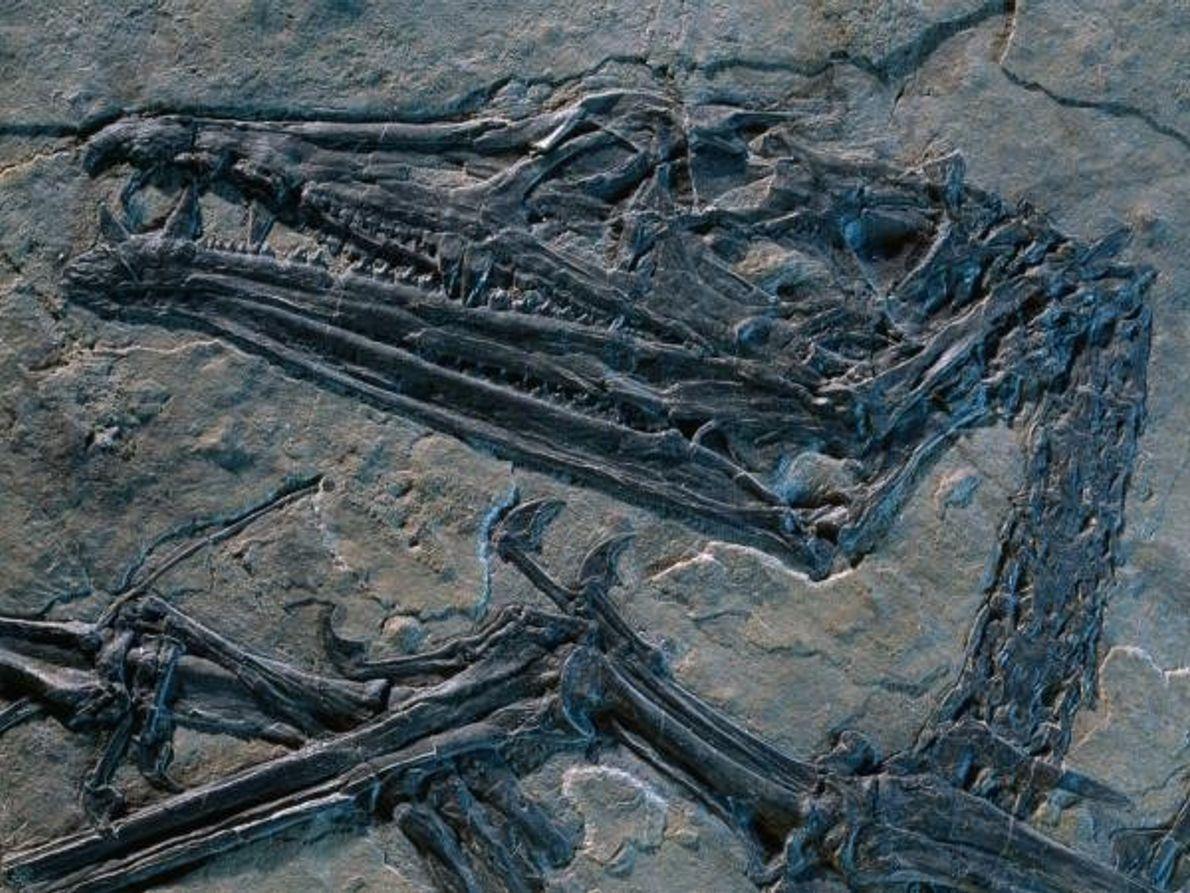 Fósil de pterosaurio