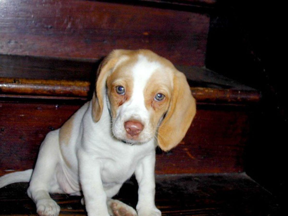 Lovie, beagle