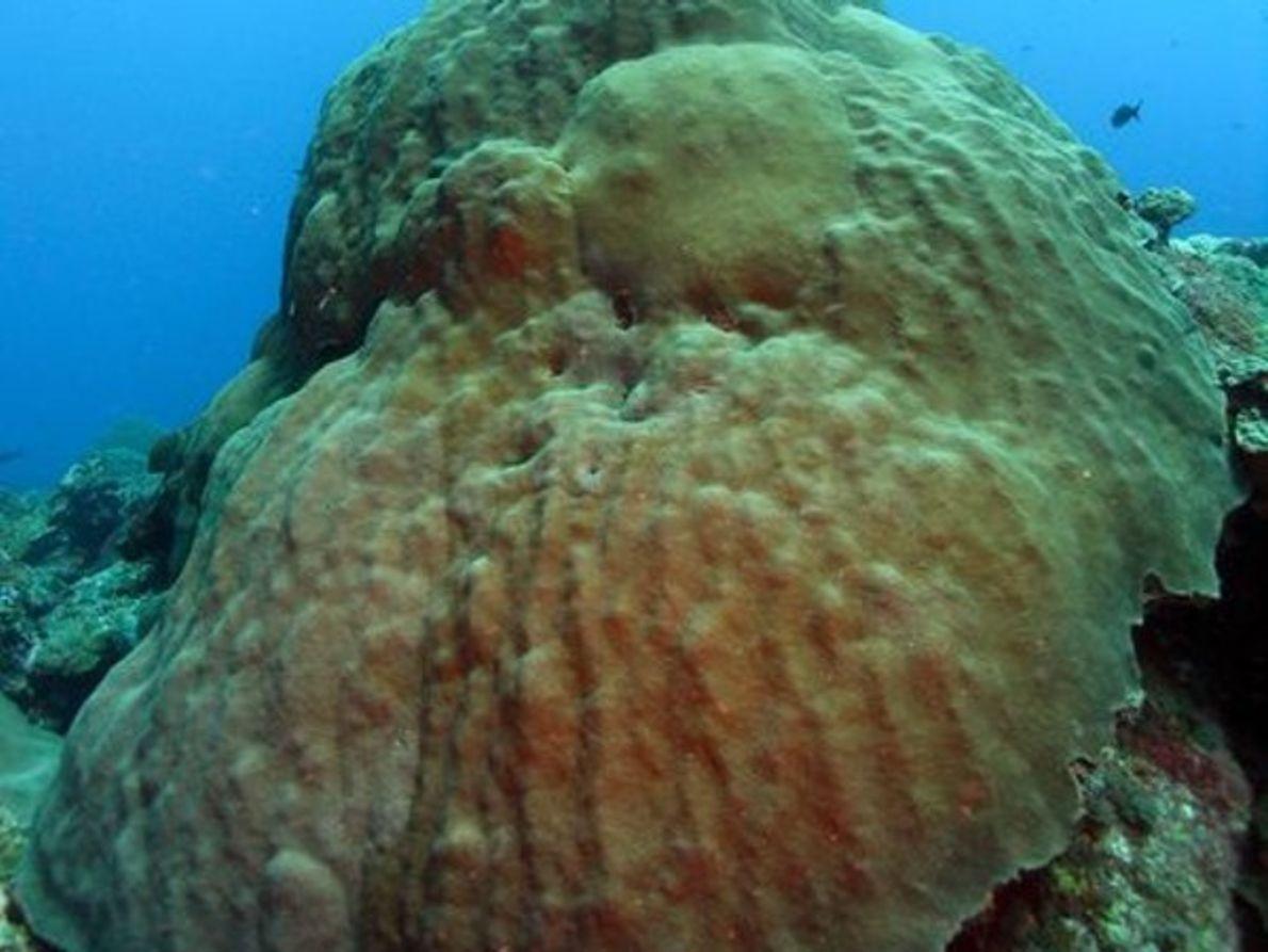 Estrellas de coral