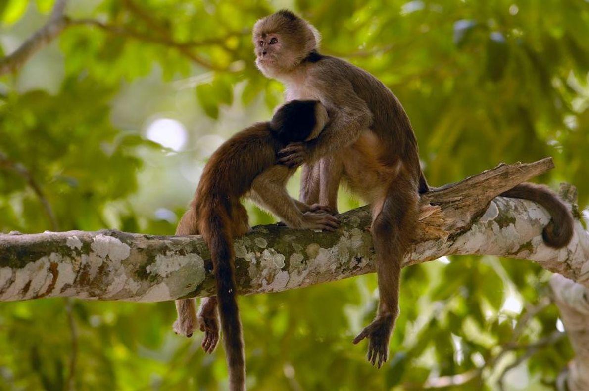 Capuchinos de frente blanca