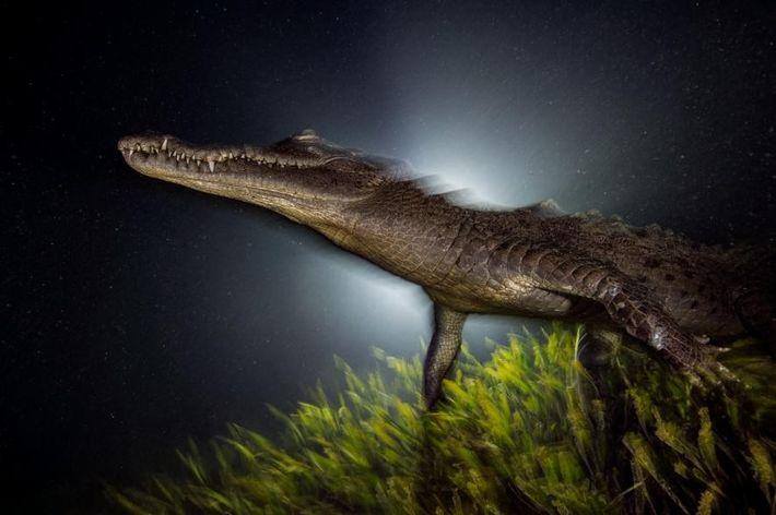 Un cocodrilo americano
