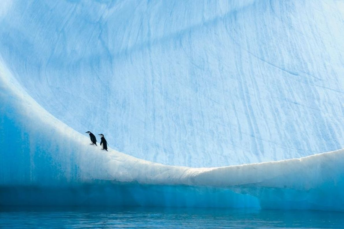 Polluelos de pingüino barbijo