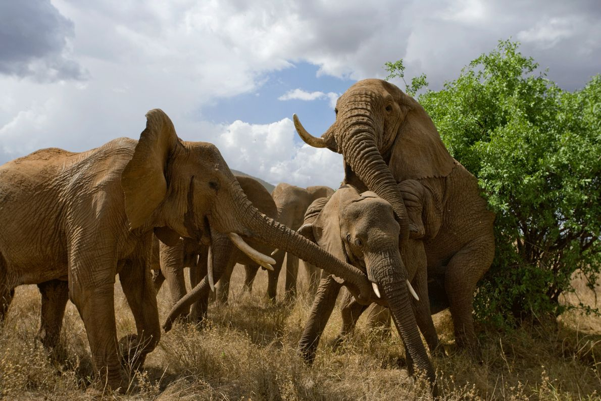 Elefantes apareándose