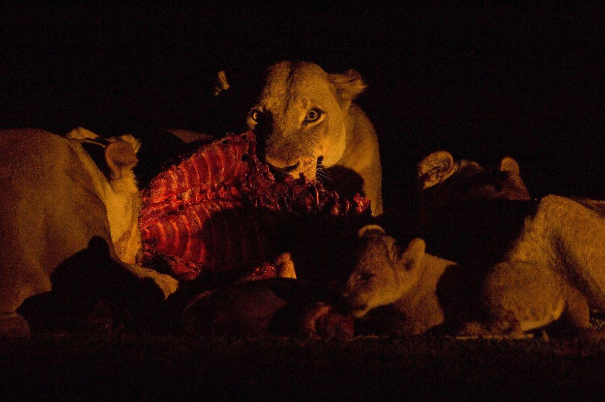 Las leonas y sus cachorros