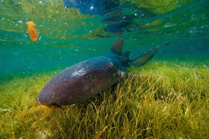 Un tiburón nodriza