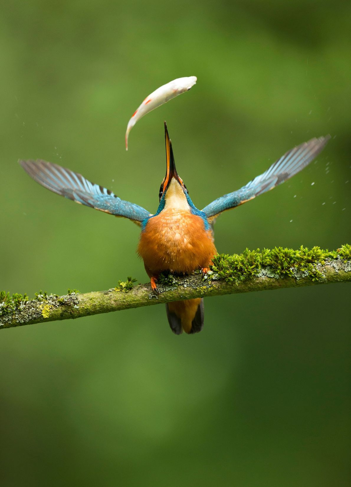 The Nature Photographers Ltd people's choice award went to this image of a kingfisher (Alcedo atthis) ...